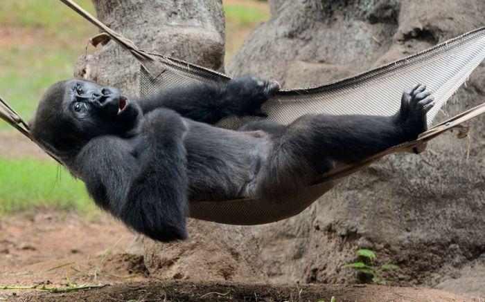 обезьяна в гамаке