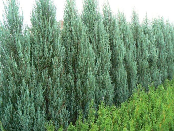 какие растенияформируют плотный и эффектный живой забор