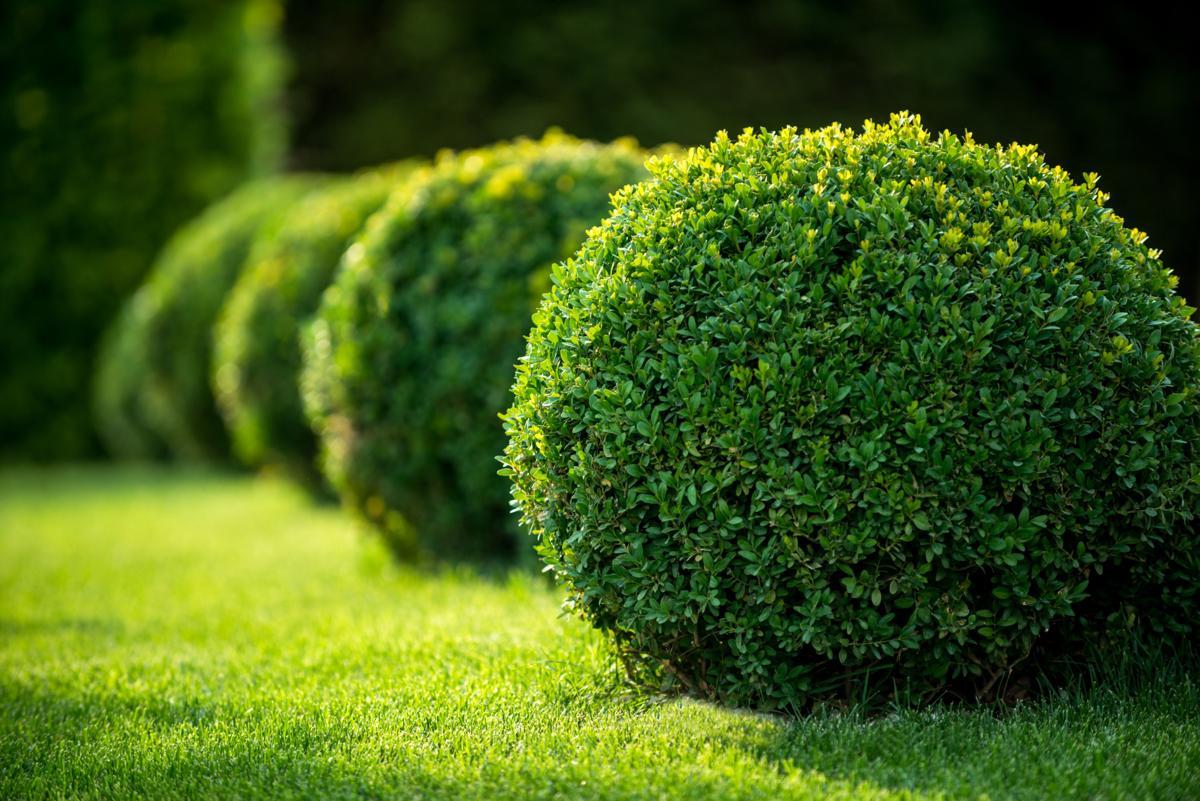 Кустарники - жимолость, боярышник, шиповник, барбарис, кизильник, для живой изгороди