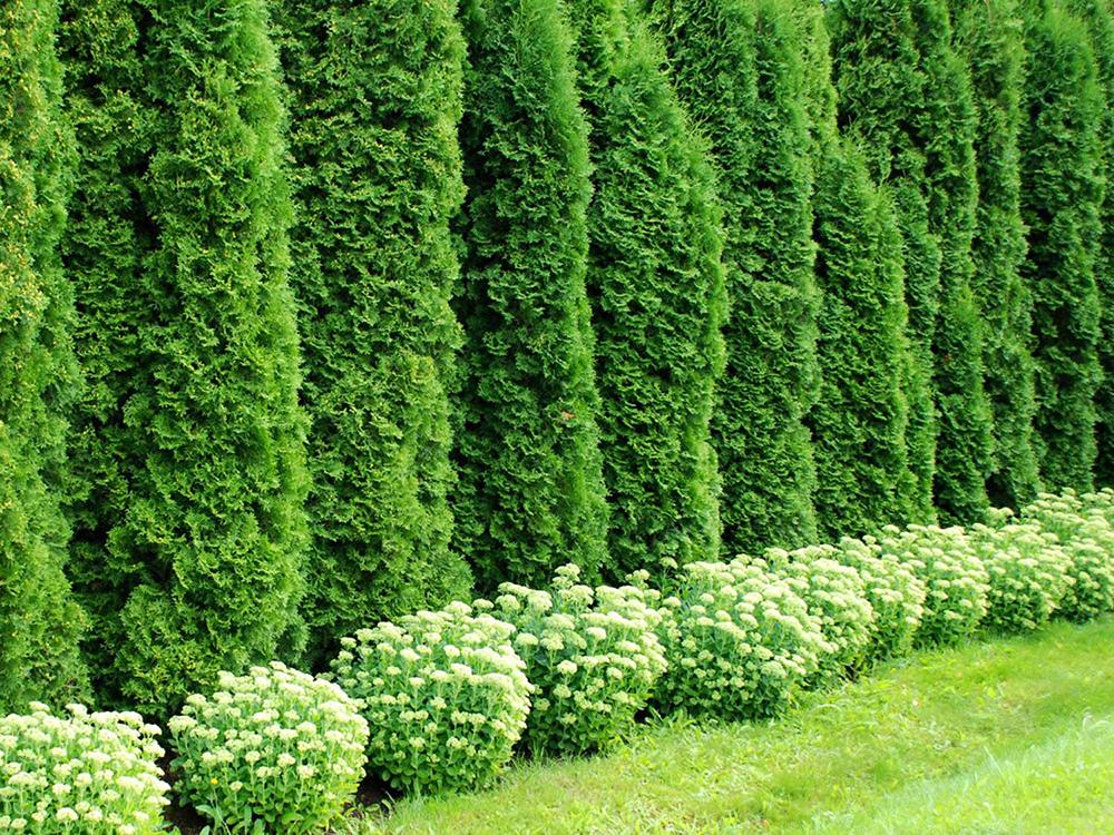 Многорядная живая изгородь