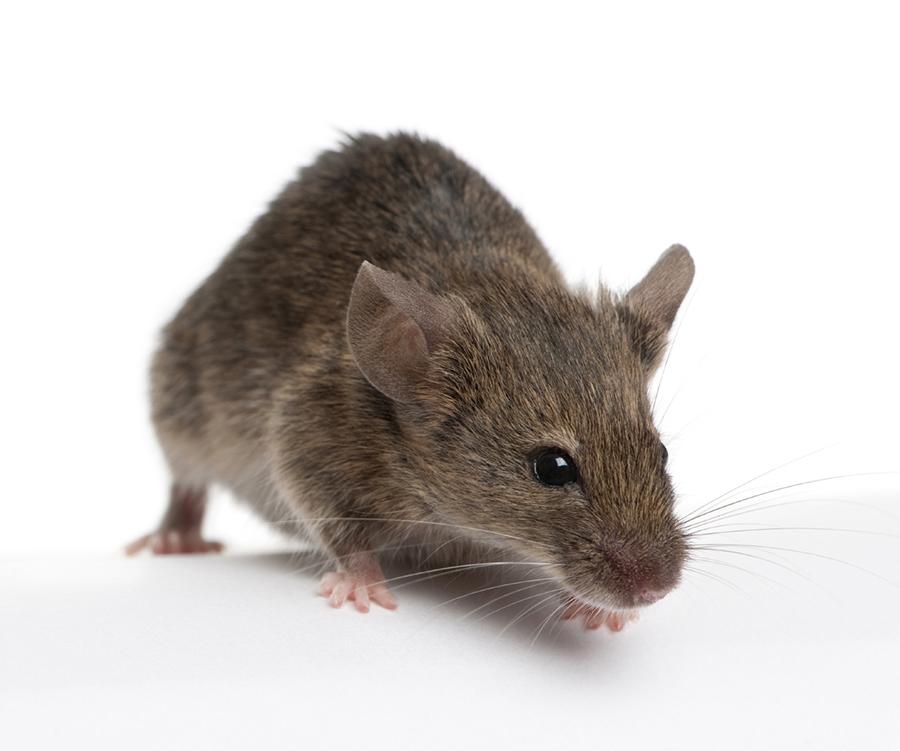 Ходят слухи, что мыши любят пробираться в  HYPERLINK